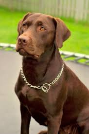 Labrador Retriever Breed Information: History, Health, Pictures, and more